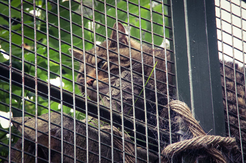 Scottish Wildcat, posing right where the bars make pictures tricky. Typical cat :) Animal Bars Close-up Day Edinburgh Edinburgh Zoo Leaves Mammal Nature No People Portrait Resting Scotland Scottish Scottish Wildcat Wildcat Zoo