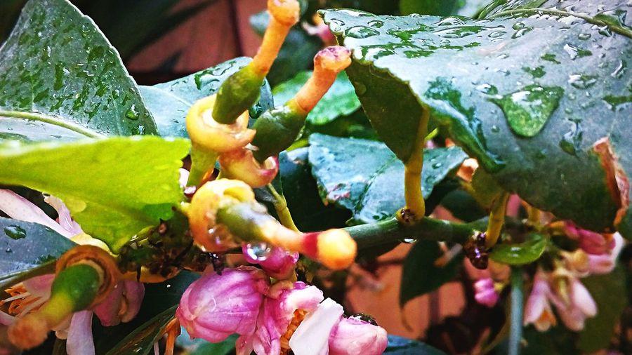 Brotes de Lima. Tree Prickly Pear Cactus Leaf