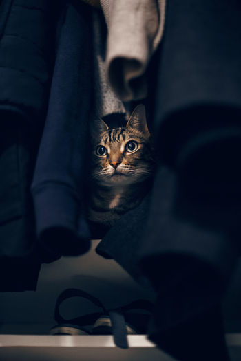 Funny scared tabby pet cat hiding in clothes at closet. cute surprised striped domestic animal