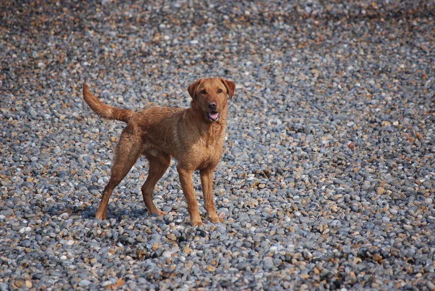 Bonzo @bonzosworld Instagram Dog Animal Themes Pets One Animal Mammal Beach Outdoors Domestic Animals Portrait Sand Nature No People Day Lab Red Lab Labrador Retriever Labrador