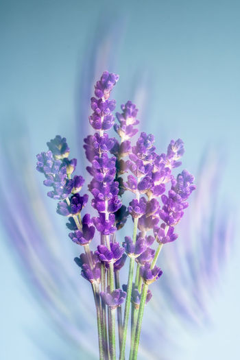 Lavender Two