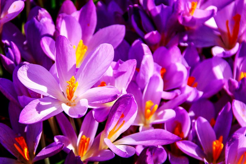 Sea of blossoms... Spring Springtime Flower Flowering Plant Petal Plant Vulnerability  Fragility Beauty In Nature Freshness Flower Head Close-up Growth No People Purple Nature Day Crocus