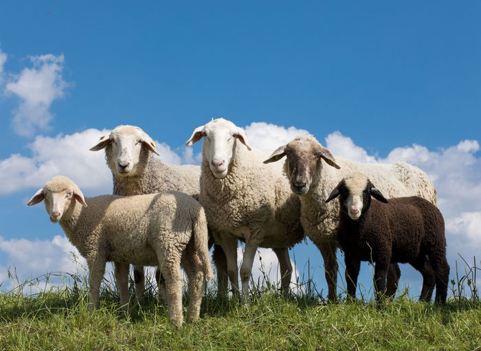 Animal Themes Beauty In Nature Day Domestic Animals Field Grass Livestock Mammal Nature No People Outdoors Sheep Sky Togetherness