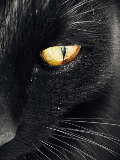 Mysterious cat's eyes Pets Cat Eyes Profundity Eyes Black Cat