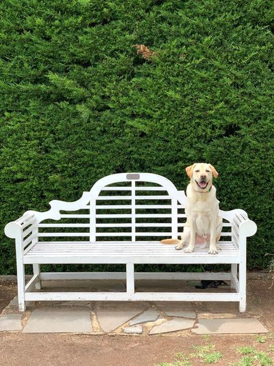Sit Dog Sitting Alone Miltonbiscuit Labrador One Animal Dog Seat Canine Domestic Domestic Animals Animal Pets Animal Themes Green Color Chair Plant Bench Day No People Relaxation