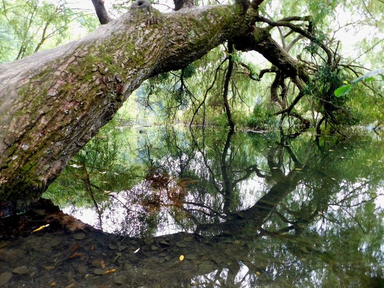 Clean Water Beautiful Mirrored Nature Old Tree Water