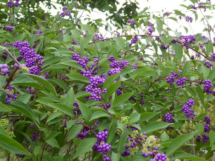 Beauty In Nature Callicarpa Japonica Close-up Flower Murasaki Shikibu Nature No People Outdoors Plant Purple Tree ムラサキシキブ 紫式部