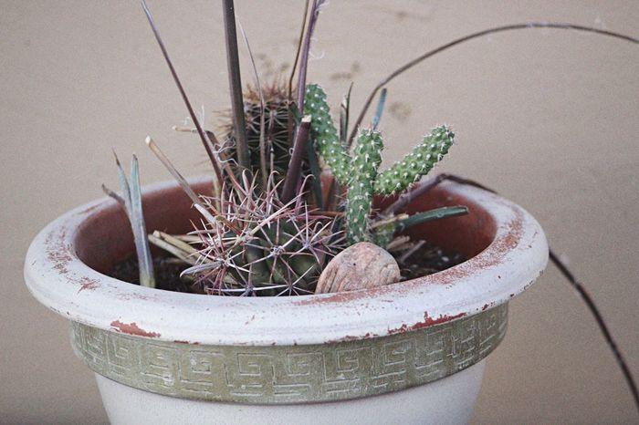 Potted Plant Plant Cactus