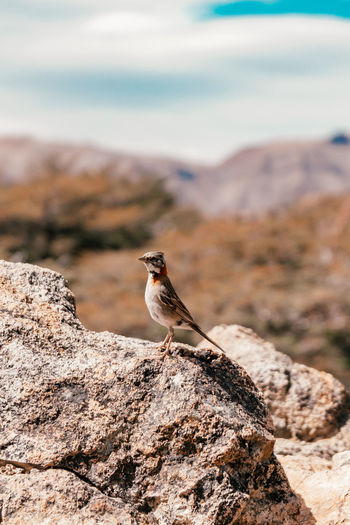 Small patagonian bird on a rock