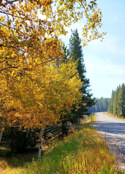 Yellow leaves of fall West Of BuffaloWyoming Wood Material Sunshine Shadow Tall Outdoors September 2018 Paved Road Tree Autumn Sunlight Sky