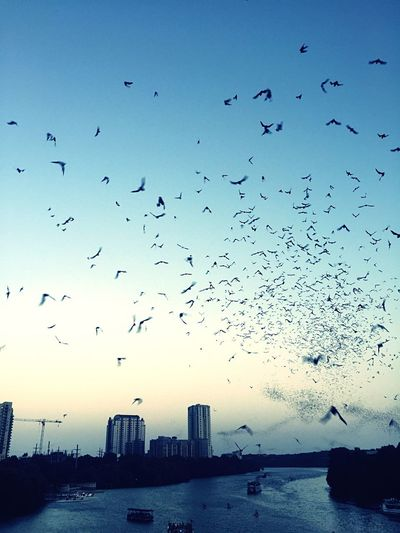 Austin, BatCity Large Group Of Animals Flying Bird Flock Of Birds Animals In The Wild Animal Themes Silhouette Sky Architecture Animal Wildlife Mid-air Skyscraper Migrating Building Exterior Built Structure Sunset Outdoors No People Sea Water Bat Bats Austin Texas Bat Bridge