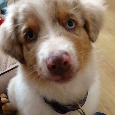 #aussie #aussiegram #aussiefan #aussienation #aussiepup #aussiepuppy #aussieaddict #aussiesofinstagram #australianshepherd #dogs #dog #dogstagram #dogsofinstagram #puppy #instapet #ilovemydog #instadog #instacute #redmerle #petsofinstagram #petstagram #pe Petsofinstagram Petlover Dog Australianshepherd Dogs Redmerle Poland Belmondo Puppy Animallove Polska Aussiesofinstagram BlueEyes Animalsaddict Aussie Aussiegram Ilovemydog Aussienation Petstagram Aussiepuppy Dogsofinstagram Aussieaddict Dogstagram Aussiepup Instadog Aussiefan Instapet Instacute
