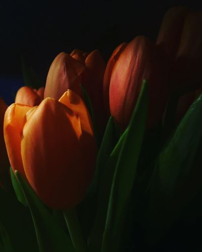 Spring light after darkness Spring Flowers Red Tulips Flower Freshness Petal Fragility Beauty In Nature Nature Tulip
