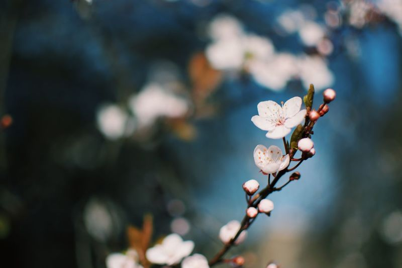 Flower Flowering Plant Plant Fragility Freshness Vulnerability  Beauty In Nature Flower Head Day No People Blossom Springtime Inflorescence Close-up Nature Petal Growth Focus On Foreground Tree Outdoors