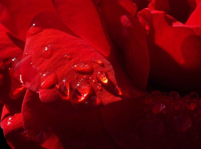 rose Drop Wet Close-up Red Freshness Full Frame Macro Droplet Botany Petal Flower Beauty In Nature Flowers