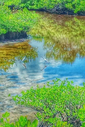 Two Is Better Than One Wading Birds Reflections Blue Sky Clouds And Sky Mangrove Life Mangroves Pelican Island National Wildlife Refuge
