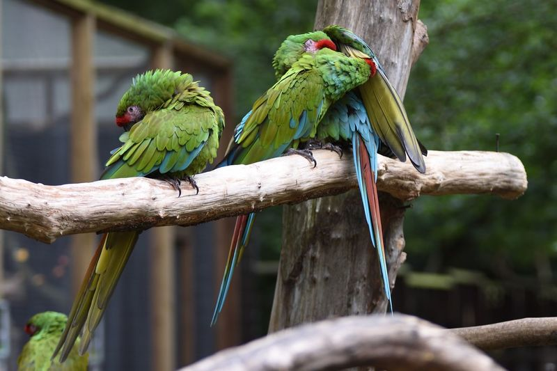 EyeEm Selects Multi Colored Perched Bird Macaws Perched Perching On A Branch Parrots Of Eyeem Parrot Parrot Lover Macaw Macaw Parrot Macaw Bird. Perching Perching Bird Perched On A Branch Wildlife & Nature Wildlife Photography Wildlife Bird Bird Photography