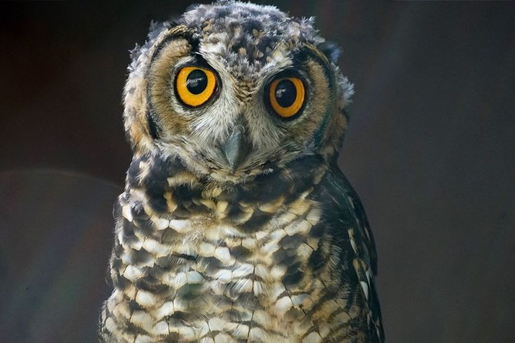 Close-Up Portrait Of Young Owl