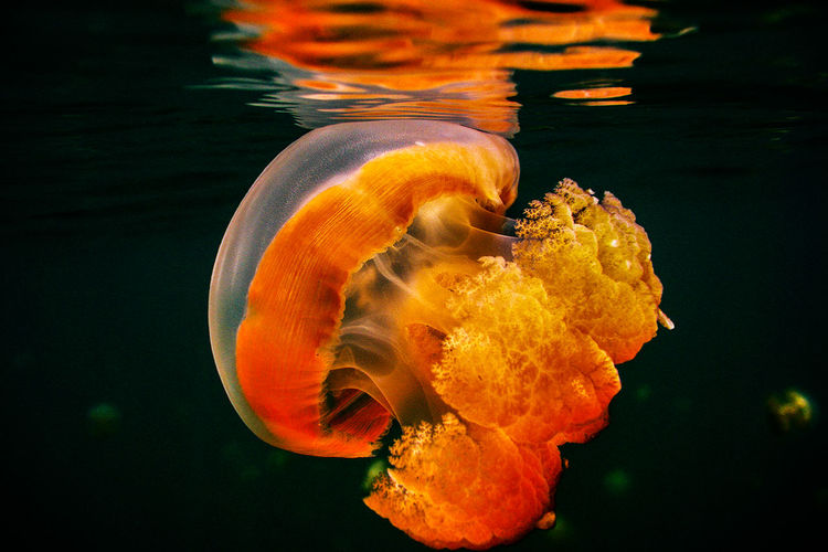 Jellyfish Palau Beauty In Nature Jellyfish Nature No People Orange Color Outdoors Under Water Photograpgy Water 43 Golden Moments EyeEm Gallery Journey Eyem Travel EyeEm Around The World Diving Colour Of Life ColorPalette Maximum Closeness Visual Creativity HUAWEI Photo Award: After Dark