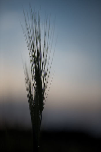 Close-up of wheat growing on field against sky at sunset