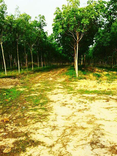 Awesome! Rubber Tree Enjoying Life of my land 😙 Loveit♥ Wonderland Landscape #Nature #photography Localphotography