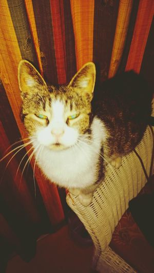 Cat Pets Looking At Camera Animal Domestic Cat Tijgertje Portrait Close-up Feline Animal Themes