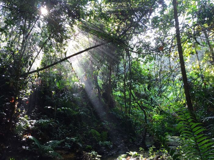 Malaysia Forest Beauty In Nature Forest Growth Outdoors Sun Rays Through Trees Tranquility Tree