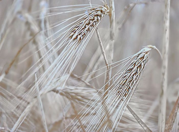 Cereals Harvest Time EyeEm Selects Close-up No People Fragility Focus On Foreground Plant Nature Softness Complexity Pattern Invertebrate Selective Focus White Color Outdoors Vulnerability  Day