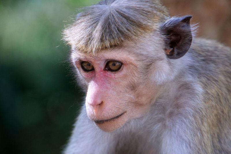 Ceylon Hutaffe Makake Makaken Affe Sri Lanka EyeEmNewHere First Eyeem Photo Monkey One Animal Mammal Looking At Camera Portrait Ape Baboon Outdoors Close-up Animal Themes Nature