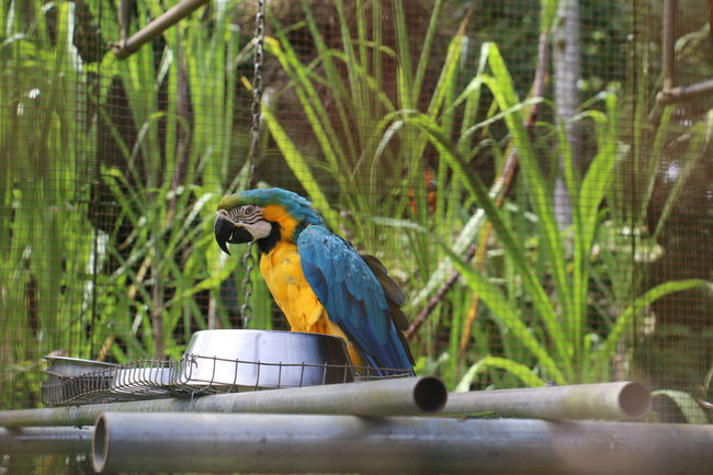 EyeEm Selects Bird One Animal Parrot Perching Animal Themes Gold And Blue Macaw Macaw Beauty In Nature Day No People Nature Outdoors Close-up