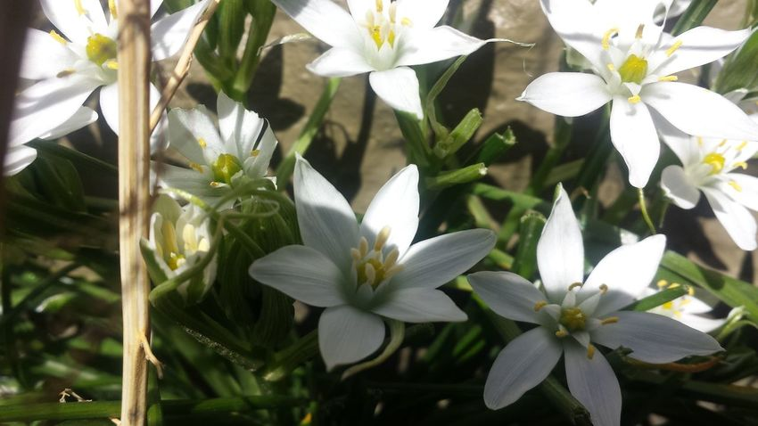 Flower White Color Growth Beauty In Nature Flower Head Petal Nature Freshness Close-up Fragility Plant Day No People Outdoors Springtime Leaf Tree Prettyflower Prettyflowers Spring Growth Loveflowers Flowersinthesun Backgrounds Beautifulflowerseveryday