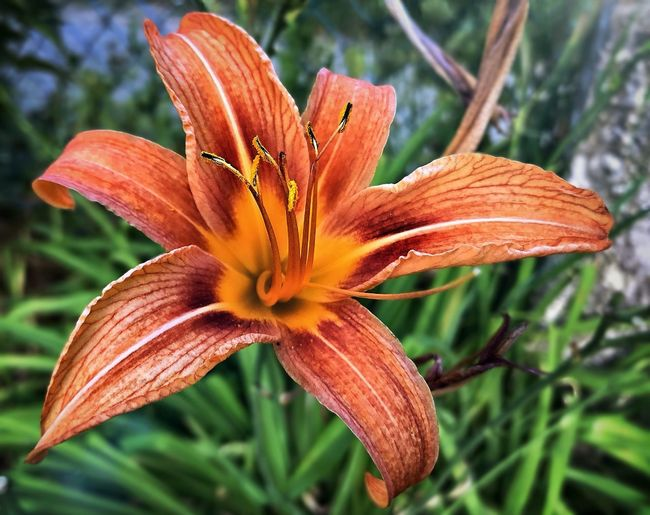 iPhone7Plus,Snapseed,FaceTune2 Flowering Plant Plant Flower Vulnerability  Fragility Petal Beauty In Nature Flower Head Nature Day No People Orange Color Pollen Day Lily Lily Focus On Foreground Freshness Close-up Inflorescence Growth