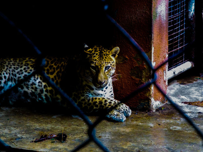 Leopard Zoo Wildlife Animals Eyes Photography Cats Nature
