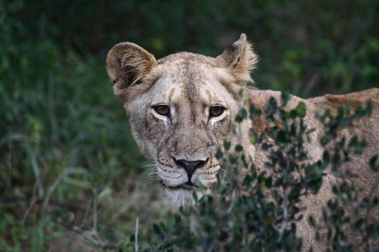 Close-up of lioness at forest