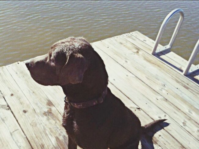 Pet Portraits Labrador Retriever Duck Hunting Best Dog Ever One Animal Dog Water Domestic Animals Lake Peaceful My Memories Backroadtravellinggypsy