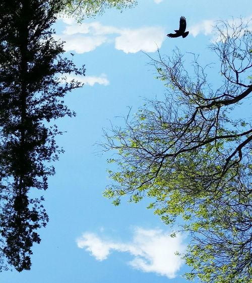As the crow flies upside-down Tree Sky Low Angle View Sunlight Nature Blue Beauty In Nature Flying Outdoors No People Branch Day Growth Cloud - Sky Bird Animal Themes Flock Of Birds crow Close-up EyeEmNewHere Break The Mold