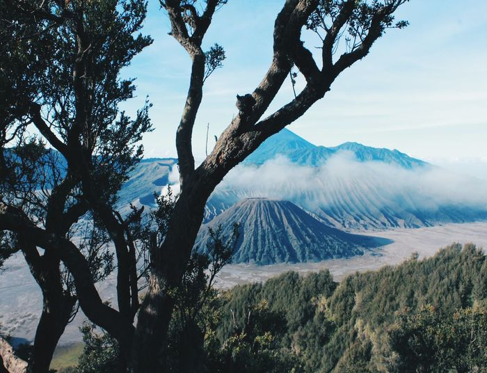 Bromo Mountain, Malang, Indonesia - awesome view of Mount Bromo in the morning Sky Landscape Tree INDONESIA Woods Forest Mountain Tree Trunk Branch A New Beginning Pine Cone Bromo Pine Tree East Java Jawa Timur Pine Wood Evergreen Tree Pinaceae Pine Woodland EyeEmNewHere EyeEm Selects Ferdy Firmana