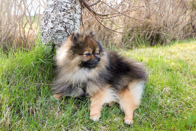 Animal Dog Domestic Animals Grass One Animal Orange Sable Orange Sobel Outdoors Pets Pomeranian Sitting EyeEmNewHere