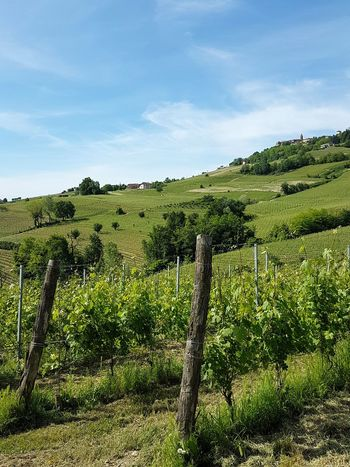 Agriculture Tree Rural Scene Field Green Color No People Growth Nature DayFreshness Outdoors Sky Beauty In Nature Landscape Nebbiolovineyards Vineyards  Piedmont Italy Langhe Travel Destinations