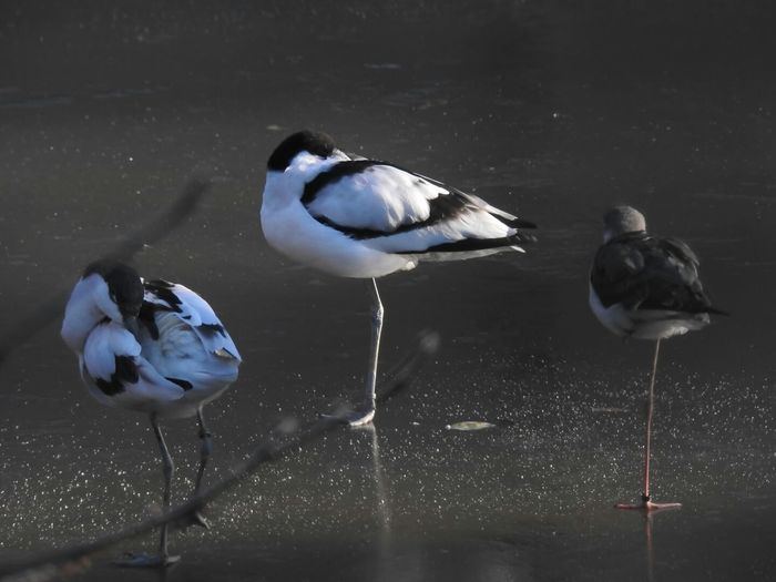 Pied Avocet Recurvirostra Avestta Beauty In Nature Animals Standing Photography EyeEm Masterclass Hello World Animal Themes Birds_collection Bird Photography Outdoor Photography EyeEmBestPics Bird Birds Of EyeEm  Nature Doğa Natur Naturelovers Animals Lover EyeEm Gallery Check This Out Beautiful From My Point Of View Germany