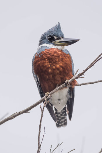 Low angle view of ringed kingfisher perching on twig against clear sky