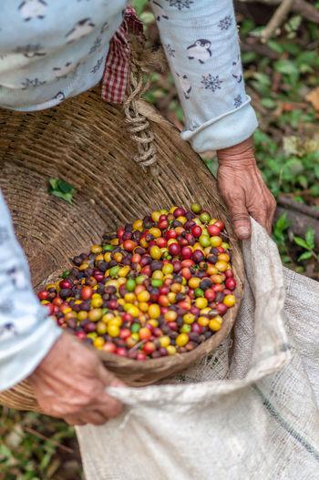 A Salvadoran coffee farmer holding a handful of freshly picked fair trade coffee bean cherries. Coffee Bean Coffee Crop Agriculture Agriculture Photography Fair Trade Coffee Farmer Freshly Picked Raw Coffee Bean