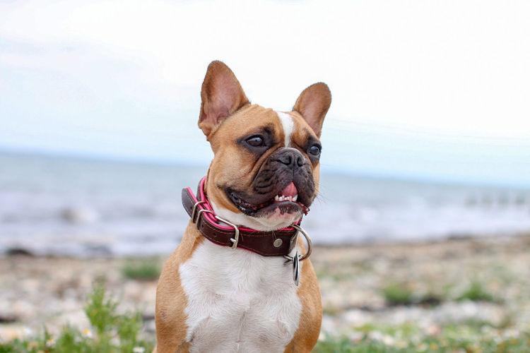 französin am Strand French Bully Bulldog Verrückte Kuh Canon EOS Water Pets Sea Portrait Beach Dog Sand Sky Close-up Horizon Over Water