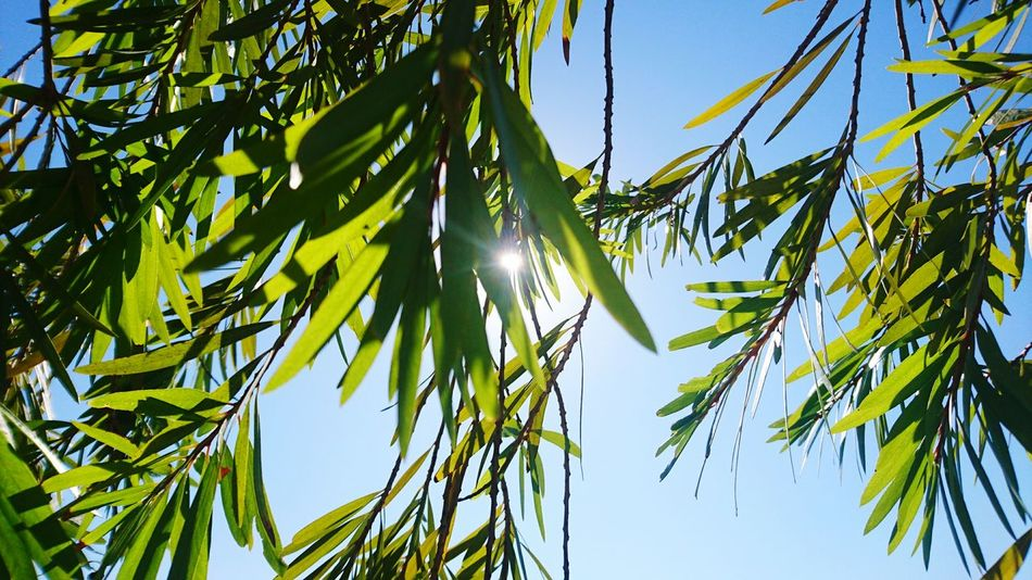 Tree Low Angle View Nature Growth Sunlight Sky Blue Leaf Clear Sky No People Beauty In Nature Outdoors Green Color Branch Day Adventure Fragility Peekaboo Morning Walk