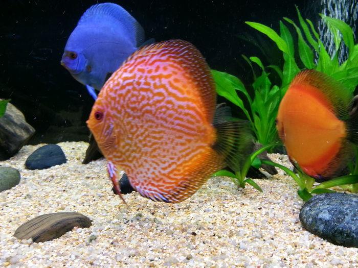 Discusfish Aquarium Discus