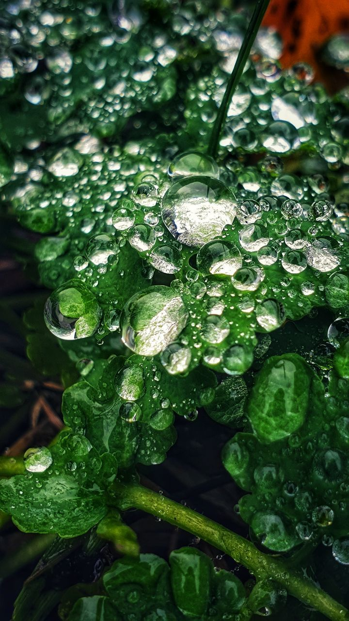 green color, close-up, wet, drop, freshness, water, plant, no people, leaf, growth, food and drink, plant part, full frame, food, beauty in nature, nature, vegetable, day, rain, raindrop, rainy season, leaves, dew, purity