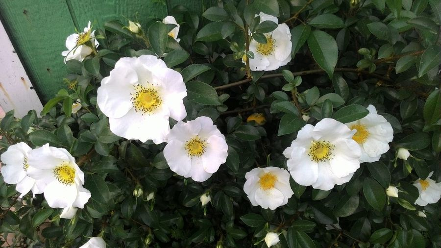 Flower White Color Nature Plant Outdoors Beauty In Nature Flower Head