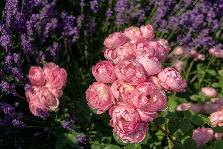 Flower Flowering Plant Beauty In Nature Plant Freshness Close-up Fragility Vulnerability  Nature Rosé Rose - Flower Petal Pink Color Flower Head No People Inflorescence Growth Focus On Foreground Day Outdoors Purple Flowerbed Ornamental Garden Springtime Gardening