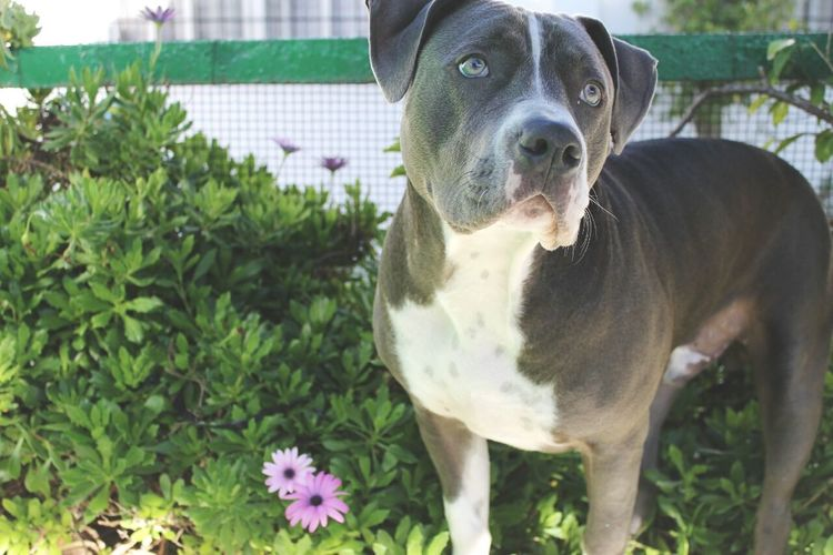 Animal American Stanford  Profile Staffy Pets Beauty Lovely American Bully Blue Lovedogs Puppy Dog Cute Boy Cute Pets Mammal Blue Eyes One Animal
