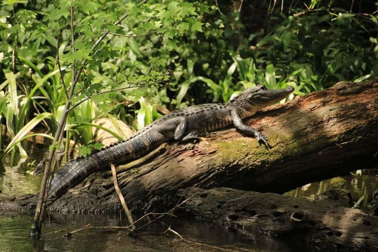 Gator on a limb Gator On A Limb Getting Some Sun Nature Photography Nature Walk Florida Life Manatee Park Love My Life